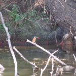 Langstertflap/Long-tailed widowbird