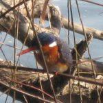 Gevlekte Muisvoël/Speckled Mousebird