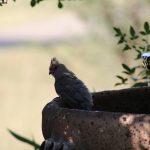Skoorsteenveër/African Sacred Ibis