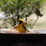 Kuifkophoutkapper/Crested Barbet