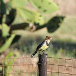Swartkeelgeelvink/Southern Masked Weaver